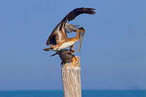 Brown pelican (Pelecanus occidentalis) landing on Cormorant (Phalacrocorax auritus) Gulf Coast, Florida, USA, March  -  Ernie  Janes