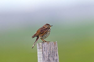 Meadow pipit (Anthus pratensis) perched on post, North Uist, Scotland, England, UK, June.  -  Ernie  Janes