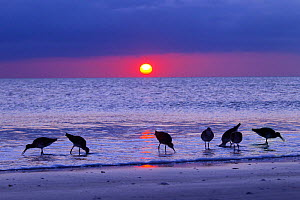 Willets (Catoptrophorus semipalmatus) feeding at sunset Gulf Coast, Florida, USA, March.  -  Ernie  Janes