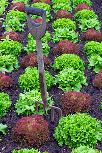 Lettuce varieties including Cos and Lollo rosso in decorative vegetable patch. - Ernie  Janes