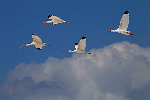 White ibis (Eudocimus albus) group of four in flight above clouds, Fort Myers Beach, Gulf Coast, Florida, USA, March.  -  Ernie  Janes