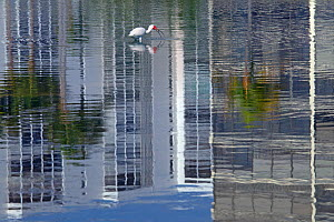 White ibis (Eudocimus albus) foraging in water with  reflections of tower blocks, Fort Myers beach, Gulf Coast, Florida, USA, March.  -  Ernie  Janes