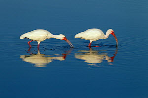 White ibis (Eudocimus albus) two foraging off the coast, Fort Myers beach, Gulf Coast, Florida, USA, March.  -  Ernie  Janes