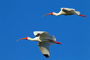 White ibis (Eudocimus albus) two in flight off, Fort Myers beach, Gulf Coast, Florida, USA, March.  -  Ernie  Janes