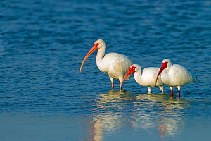 White ibis (Eudocimus albus) group of three standing in the water at Fort Myers beach, Gulf Coast, Florida, USA, March.  -  Ernie  Janes