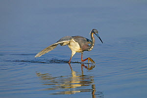 Tri-coloured heron (Egretta tricolour) in lagoon, Fort Myers Beach, Florida, USA, March.  -  Ernie  Janes