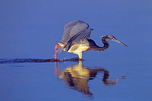 Tri-coloured heron (Egretta tricolour) hunting fish in lagoon. Fort Myers Beach, Florida, USA, March.  -  Ernie  Janes