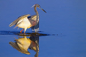 Tri-coloured heron (Egretta tricolour) catching fish in lagoon, Fort Myers Beach, Florida, USA, March.  -  Ernie  Janes