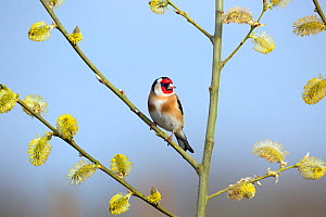 Goldfinch (Carduelis carduelis) on Pussy willow branch (Salix caprea) in spring, Norfolk, England, UK, April.  -  Ernie  Janes