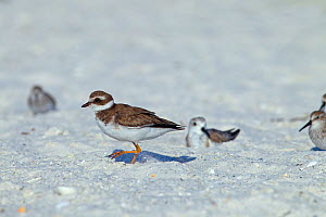 Semipalmated plover (Charadrius semipalmatus) with Sanderlings (Calidris alba) behind, Fort Myers Beach, Gulf Coast, Florida, USA, March. - Ernie  Janes