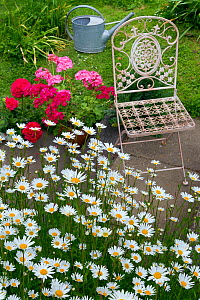 Garden chair with Ox-eye daisies (Leucanthemum vulgare) and potted Pelargoniums.  -  Ernie  Janes