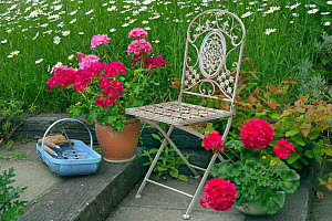 Garden chair with potted Pelargoniums, and garden tools in basket with Ox-eye daisies (Leucanthemum vulgare). - Ernie  Janes