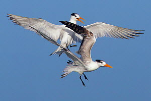 Royal terns (Sterna maxima) in flight squabbling, Fort Myers Beach, Florida, USA, March.  -  Ernie  Janes