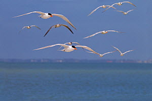Flock of Royal terns (Sterna maxima) in flight, Fort Myers, beach, Florida, USA, March.  -  Ernie  Janes