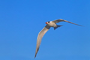 Royal tern (Sterna maxima) in flight, Fort Myers Beach, Florida, USA, March.  -  Ernie  Janes