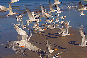 Flock of Sandwich terns (Thalasseus sandvicensis) and Royal terns (Sterna maxima) in flight. Fort Myers Beach, Florida, USA, March.  -  Ernie  Janes
