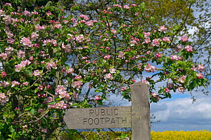 Footpath sign  against Apple blossom (Malus domestica) and field of Oilseed rape (Brassica napus) in flower, Norfolk, England, UK, March.  -  Ernie  Janes