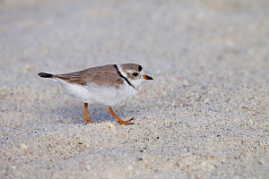 Piping plover (Charadrius melodus) on beach, Florida, USA, March.  -  Ernie  Janes