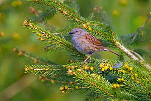 Hedge sparrow (Prunella modularis) on conifer. Norfolk, England, UK, April.  -  Ernie  Janes