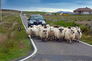 Farmer in vehicle  with Collie sheepdog driving sheep,  Baile Mor North Uist. Outer Hebrides, Scotland, June.  -  Ernie  Janes