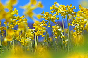 Cowslips (Primula veris) in flower, Norfolk, England, UK, April.  -  Ernie  Janes