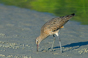 Long-billed curlew (Numenius americanus) feeding on the seashore, Florida. USA, March.  -  Ernie  Janes