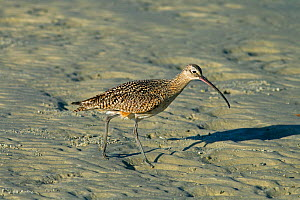 Long-billed curlew (Numenius americanus) feeding on the seashore, Florida, USA. March.  -  Ernie  Janes