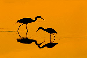 RF- Little blue heron (Egretta caerulea) and Great egret (Ardea alba) in lagoon at sunrise. Fort Myers beach, Gulf Coast, Florida, USA, March. (This image may be licensed either as rights managed or r...  -  Ernie  Janes