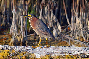Green-backed heron (Butorides striatus) perched on drift wood in lagoon, Fort Myers Beach, Gulf Coast, Florida, USA, March. - Ernie  Janes