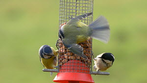 Blue tit (Cyanistes caeruleus) feeding at a bird feeder, showing aggression towards a Coal tit (Periparus ater) and another Blue tit, Carmarthenshire, Wales, UK, November.  -  Dave Bevan