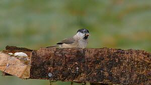 Marsh tit (Poecile palustris) feeding at a bird table before flying off, Carmarthenshire, Wales, UK, November.  -  Dave Bevan