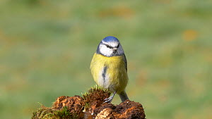 Blue tit (Cyanistes caeruleus) perched on a tree stump, Carmarthenshire, Wales, UK, November.  -  Dave Bevan