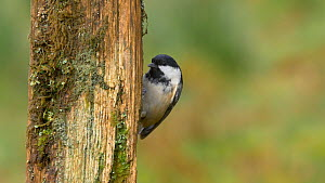 Coal tit (Periparus ater) looking for food in a fence post, Carmarthenshire, Wales, UK, November.  -  Dave Bevan