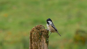 Coal tit (Periparus ater) looking for food in a post, Carmarthenshire, Wales, UK, November.  -  Dave Bevan