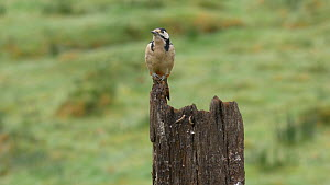 Male Great spotted woodpecker (Dendrocopos major) perched on a gate post and looking around, Carmarthenshire, Wales, UK, November.  -  Dave Bevan