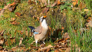 Jay (Garrulus glandarius) feeding on fallen acorns before taking off, Carmarthenshire, Wales, UK, November.  -  Dave Bevan