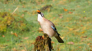 Jay (Garrulus glandarius)  feeding on acorns cached in an old fence post, Carmarthenshire, Wales, UK, November.  -  Dave Bevan