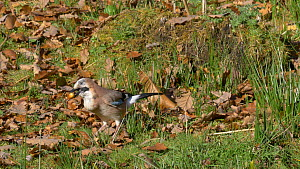 Two Jays (Garrulus glandarius) feeding on fallen acorns before taking off, Carmarthenshire, Wales, UK, November.  -  Dave Bevan