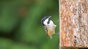 Coal tit (Periparus ater) feeding from a bird feeder, Carmarthenshire, Wales, UK, November.  -  Dave Bevan