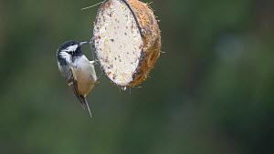 Coal tit (Periparus ater) feeding from a coconut shell filled with fat, Carmarthenshire, Wales, UK, November.  -  Dave Bevan