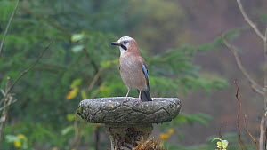 Jay (Garrulus glandarius) perched on a garden bird bath and looking around, Carmarthenshire, Wales, UK, November.  -  Dave Bevan