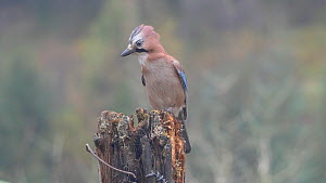 Jays (Garrulus glandarius) collecting acorns from a rotting gate post, Carmarthenshire, Wales, UK, November.  -  Dave Bevan