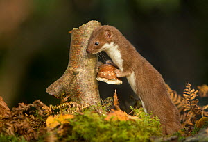 Weasel (Mustela nivalis) investigating birch stump with bracket fungus in autumn woodland, Sheffield.  -  Paul Hobson