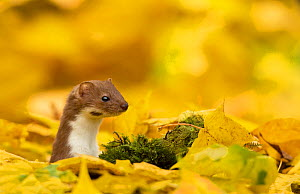 Weasel (Mustela nivalis) head and neck looking out of yellow autumn acer leaves, Sheffield, England, UK.  -  Paul Hobson