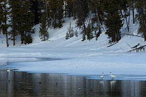 Trumpeter swan (Cygnus buccinator) on snowy river, Yellowstone National Park, Wyoming, USA, February. - Paul Hobson