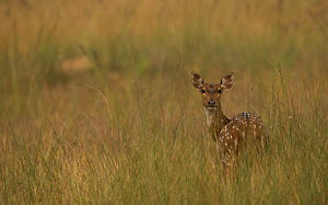 Chital deer (Axis axis) on open grasslands, Bandhavgarh, India. - Paul Hobson