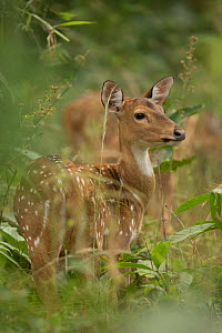 Chital deer (Axis axis) portrait of hind, Bandhavgarh, India. - Paul Hobson