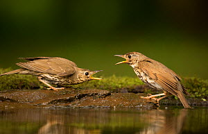 Song thrush (Turdus philomelos) aggressive interaction between two birds whilst bathing, Hungary, May. - Paul Hobson