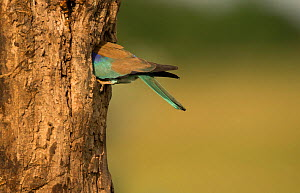 Roller (Coracias garrulus) adult in breeding plumage at nest hole in tree, Hungary, May.  -  Paul Hobson