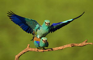 Roller (Coracias garrulus) adults in breeding plumage, pair mating, Hungary, May.  -  Paul Hobson